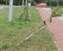Kto połamał drzewka na Muchlińskiej?_4